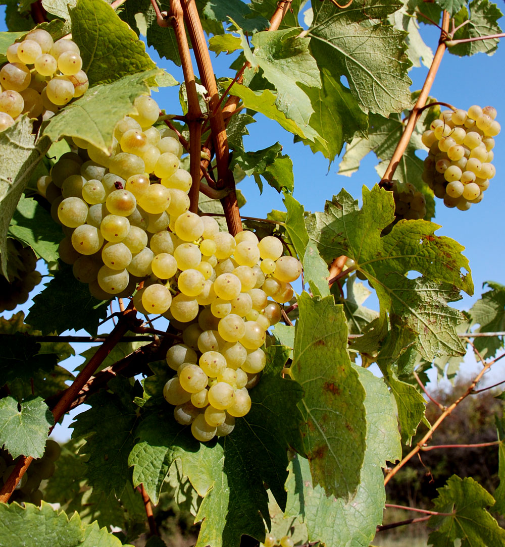 The grapes ripening in the Pálava vineyards