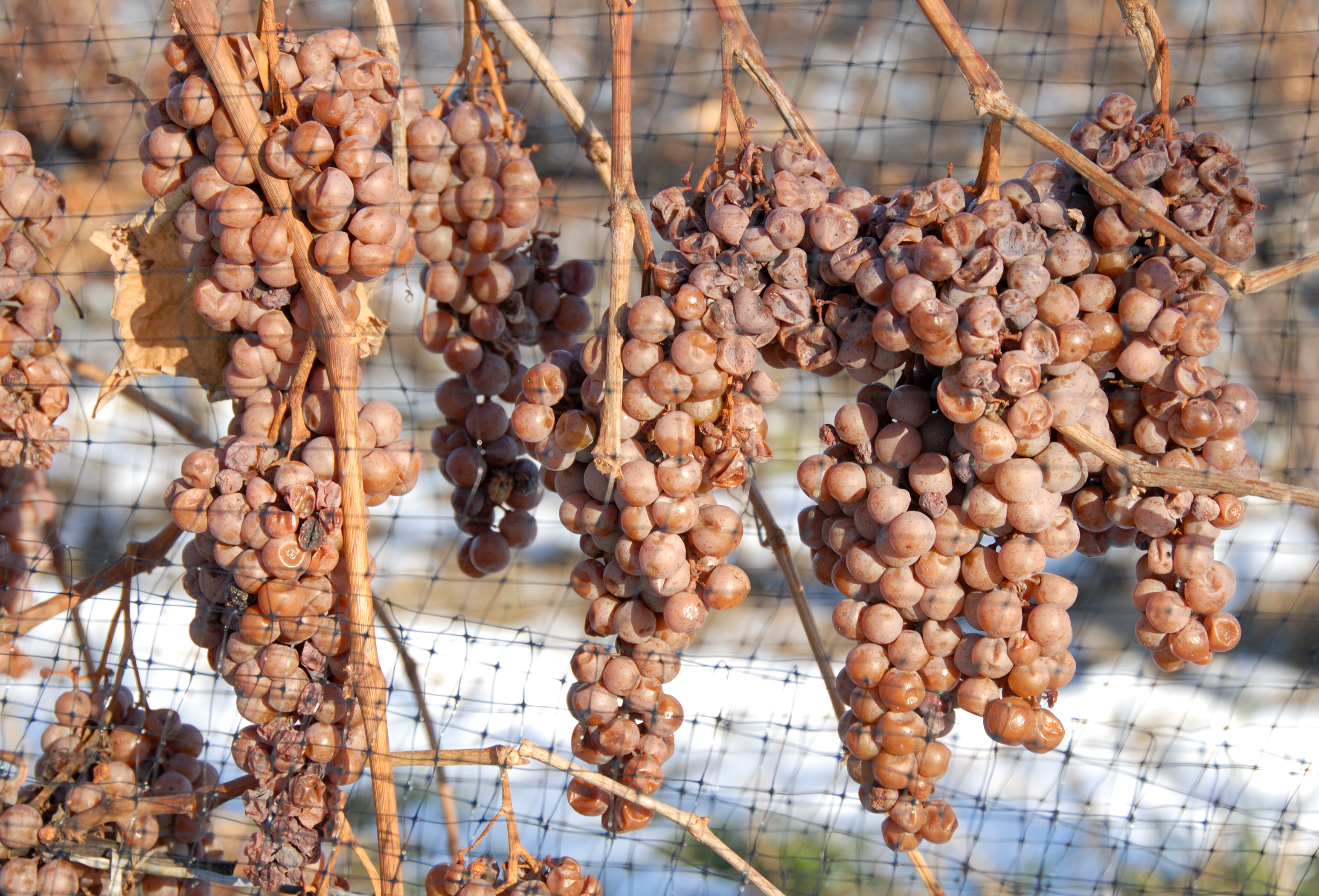 Taste the World of Wine in the Czech Republic - Ice and Straw Wine