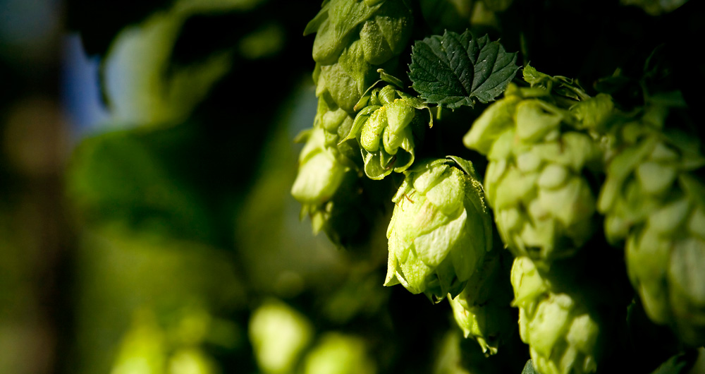Green gold – the Žatec semi-early red is one of the highest-quality hop varieties