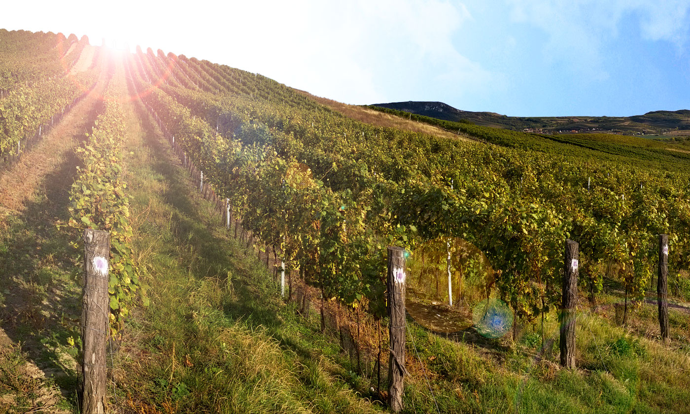 The wineyards on Pálava