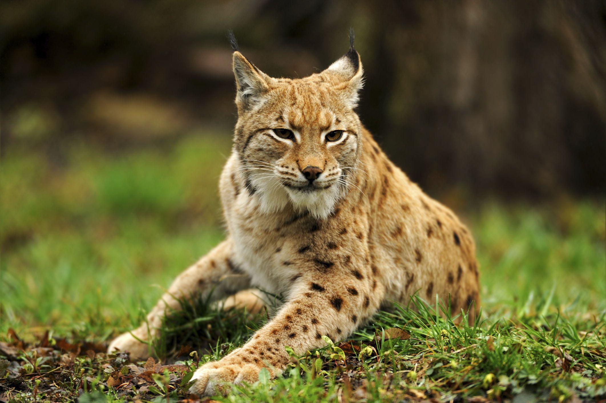 Šumava - Eurasian lynx