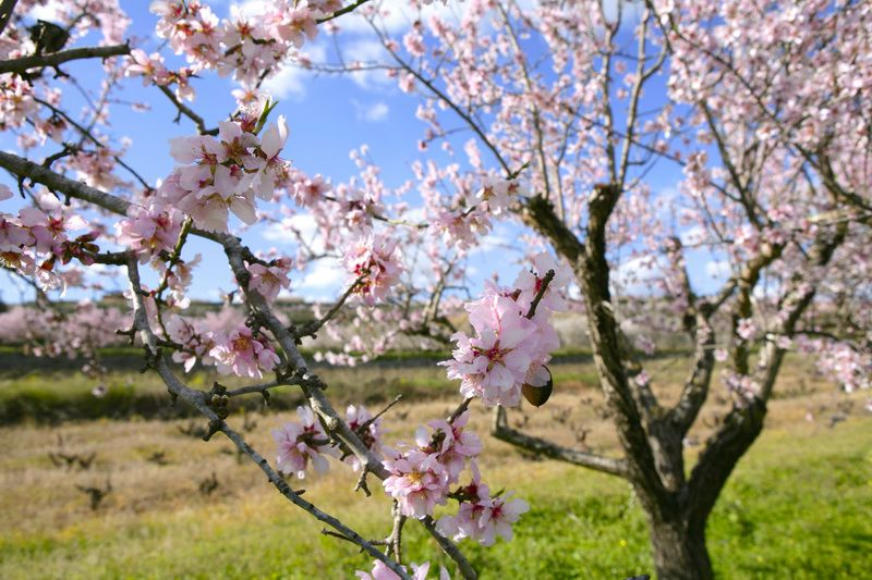 Come see the largest almond orchard in Central Europe bloom!
